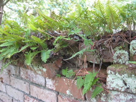 Ferns make a soft cap for the brick wall