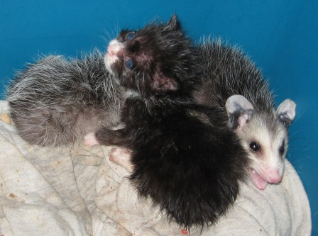 Possum cats