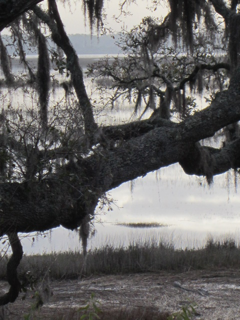 Live Oaks at the Marsh (4/6)