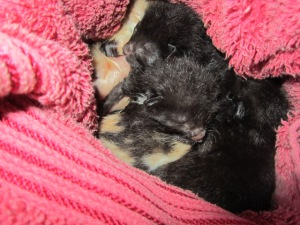 This photo is 6 babies, brand-new, tucked into a towel which is tucked into my green wool hat.  Two calicoes, two blacks, one tuxedo, and one white with black markings.