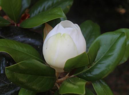 LaurelHill magnolia